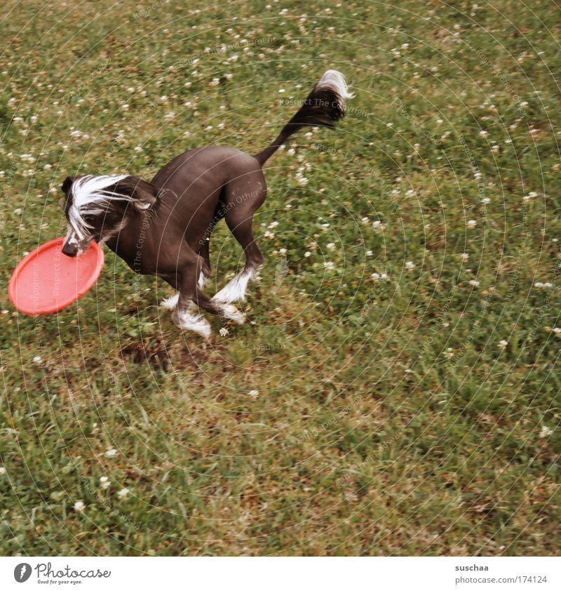 frisbee-dog Hund Sommer Tier Wiese Leben Spielen Haare & Frisuren Garten rennen Fell Fitness Haustier