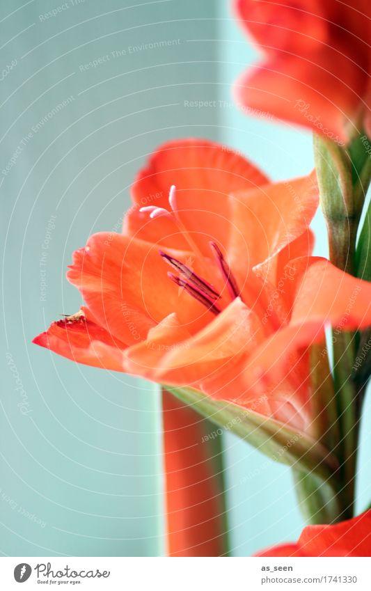 Gladiolen Lifestyle schön harmonisch Natur Pflanze Sommer Herbst Blume Blüte exotisch Schwertlilie Stempel Staubfäden Blumenstrauß Blühend leuchten Wachstum