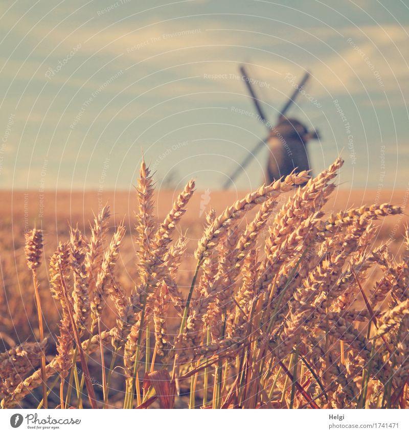 Sommer auf dem Land Getreide Umwelt Natur Landschaft Pflanze Himmel Wolken Schönes Wetter Nutzpflanze Weizen Feld Dorf Bauwerk Windmühle stehen dehydrieren