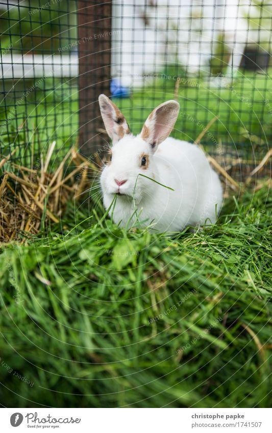 Grün bevorzugt Gras Tier Haustier Tiergesicht Fell Hase & Kaninchen 1 Fressen niedlich außengehege Käfig Farbfoto Außenaufnahme Schwache Tiefenschärfe