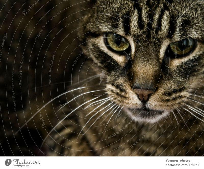 In the dark Farbfoto Innenaufnahme Schatten Kontrast Tierporträt Blick Fell Haustier Katze Tiergesicht Tigerkatze beobachten füttern bedrohlich dunkel braun