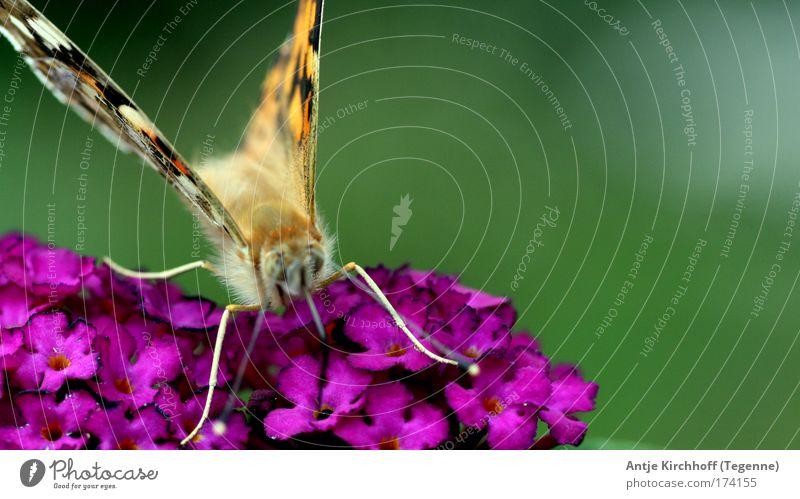 Kleiner Schmetterling Farbfoto mehrfarbig Außenaufnahme Nahaufnahme Makroaufnahme Tag Zentralperspektive Tierporträt Umwelt Natur Sommer Schönes Wetter Park