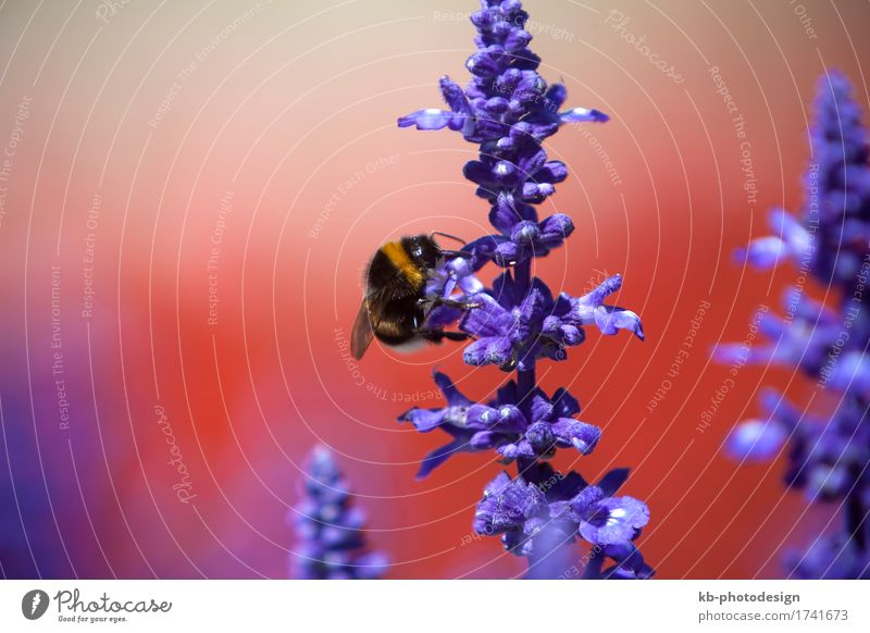 Closeup of a bumblebee in a field of purple salvia Sommer Natur Blume Wildtier Hummel 1 Tier trinken insect ornamental sage Salbei flower flowers plants