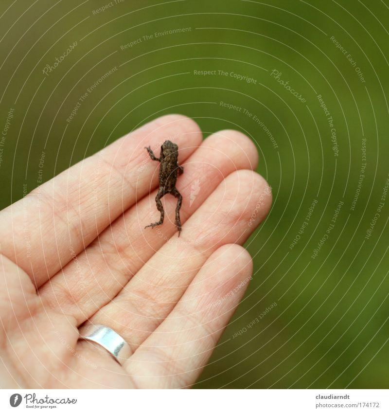 Froschkönig Farbfoto Außenaufnahme Textfreiraum rechts Textfreiraum oben Tag Schwache Tiefenschärfe Hand Finger Natur Tier Ring Wildtier Kröte 1 Tierjunges