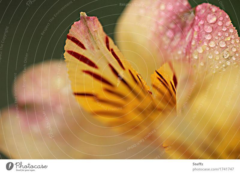 nach dem Regen Umwelt Natur Pflanze Wassertropfen Sommer Blume Blüte Lilien Lilienblüte Tigerlilie Gartenblume Blütenblatt Blühend nass schön gelb orange rosa