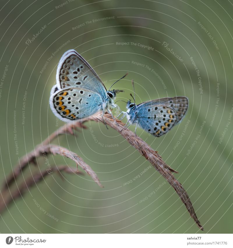 *400* | Liebeserklärung Umwelt Natur Pflanze Tier Sommer Gras Wildtier Schmetterling Flügel Insekt Bläulinge Fühler 2 berühren genießen krabbeln Zusammensein