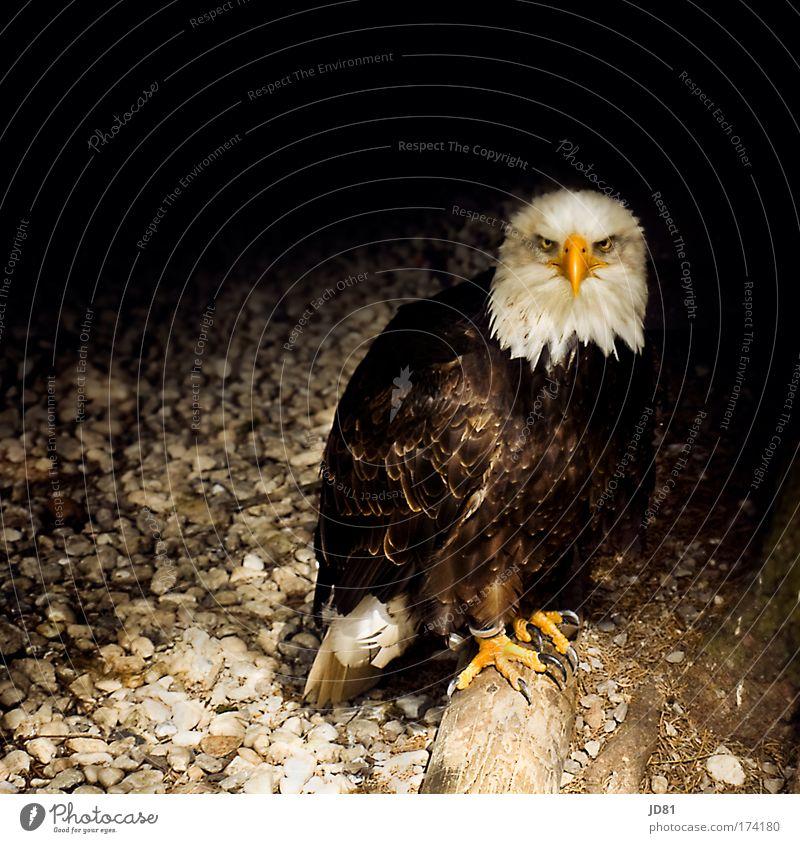 wenn Blicke töten könnten... Tier dunkel Vogel bedrohlich Konzentration Wildtier Schnabel Adler Wappen Greifvogel Wappentier