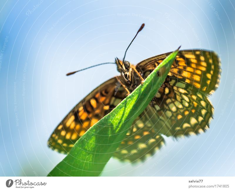 Froschperspektive Natur Tier Himmel Sonnenlicht Frühling Sommer Pflanze Blatt Wiese Schmetterling Flügel Insekt scheckenfalter Fühler 1 genießen nah blau grün