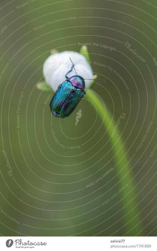obenauf Umwelt Natur Pflanze Tier Frühling Sommer Blume Blüte Wildpflanze Wiese Käfer 1 genießen ästhetisch glänzend rund schön blau grün weiß Frühlingsgefühle