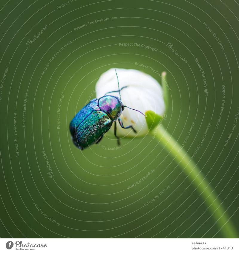 glanzvoll Umwelt Natur Pflanze Tier Sträucher Blüte Wildpflanze Wildtier Käfer Flügel 1 entdecken krabbeln ästhetisch natürlich oben schön blau grün Duft