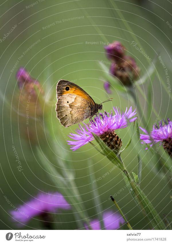 Lieblingsblume Umwelt Natur Pflanze Tier Sommer Blume Blüte Wildpflanze Wiesenflockenblume Wildtier Schmetterling Insekt 1 Blühend Duft genießen Liebe sitzen