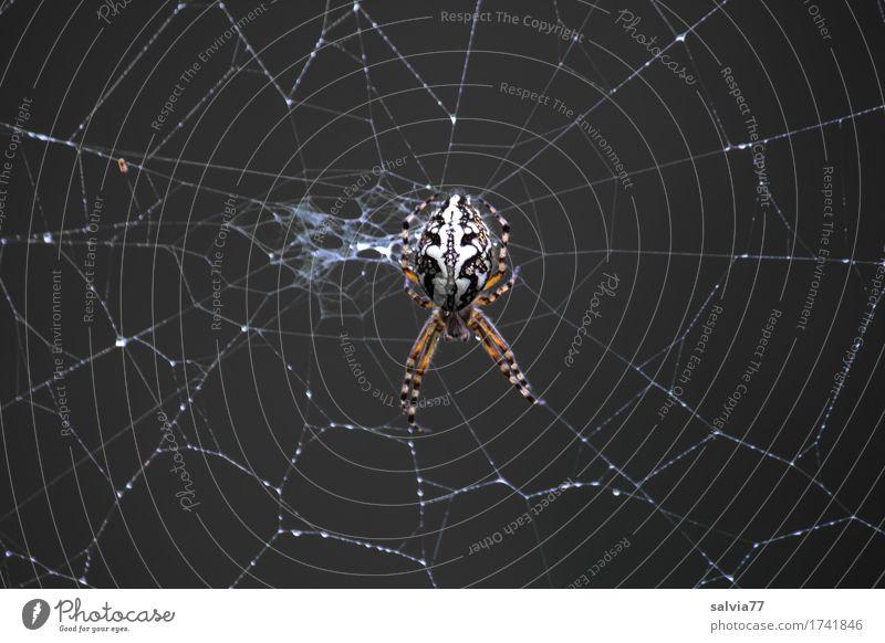 Netzwartung Halloween Natur Herbst Wildtier Spinne Spinnennetz Spinnenbeine 1 Tier Jagd krabbeln dunkel Ekel gruselig schwarz weiß achtsam Wachsamkeit