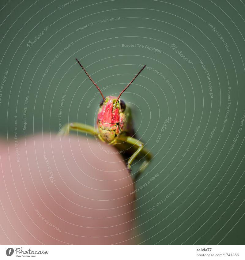 red head rot Tier grau Perspektive beobachten berühren Neugier Insekt Leichtigkeit Mobilität Tiergesicht frech krabbeln Fühler Antenne Heuschrecke