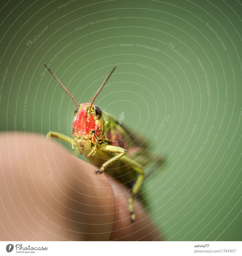 frecher Hüpfer Natur grün Tier Umwelt klein Wildtier Perspektive Geschwindigkeit Finger beobachten Neugier Kontakt sportlich Insekt Leichtigkeit Tiergesicht