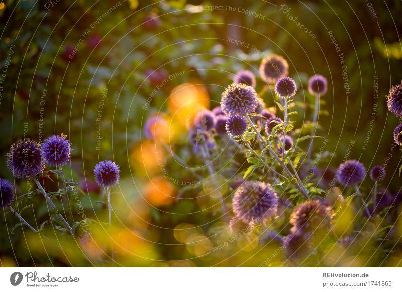 leuchtpommel Umwelt Natur Pflanze Sommer Blume Sträucher Blüte Wildpflanze Garten Blühend leuchten Wachstum ästhetisch natürlich gold grün Farbfoto Menschenleer