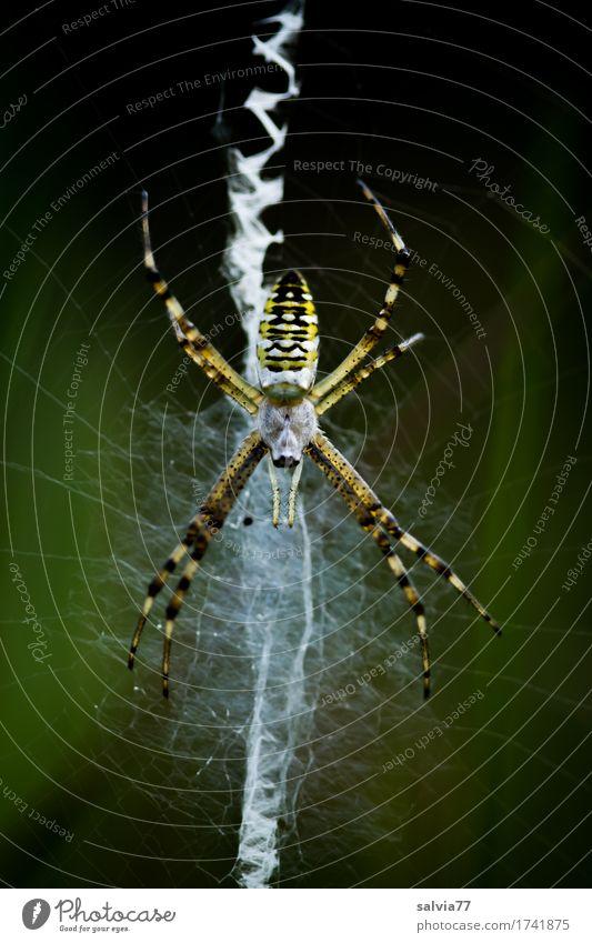 Zickzack Natur Tier Umwelt außergewöhnlich Angst Wildtier Perspektive warten beobachten Netz Wachsamkeit fangen Jagd krabbeln Ekel geduldig