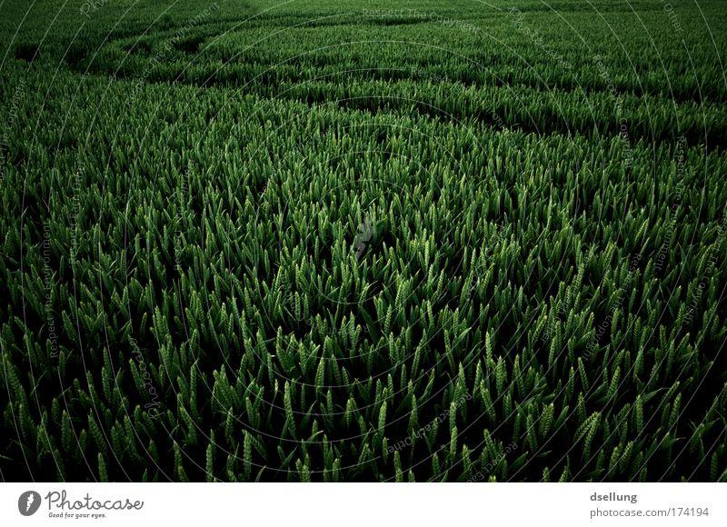 Mittendrin statt nur dabei! Natur grün Pflanze Frühling Landschaft Feld Umwelt Getreide Getreidefeld Nutzpflanze Getreideernte