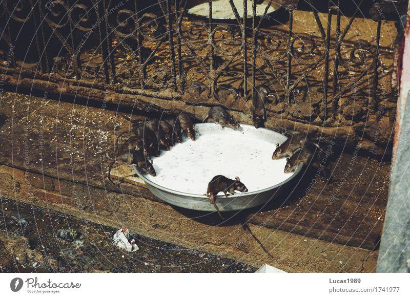 Ratten im Rattentempel Tier Wand Essen Mauer Lebensmittel dreckig Wildtier Tiergruppe trinken gruselig Kot Schalen & Schüsseln Fressen Indien Schwarm Ekel
