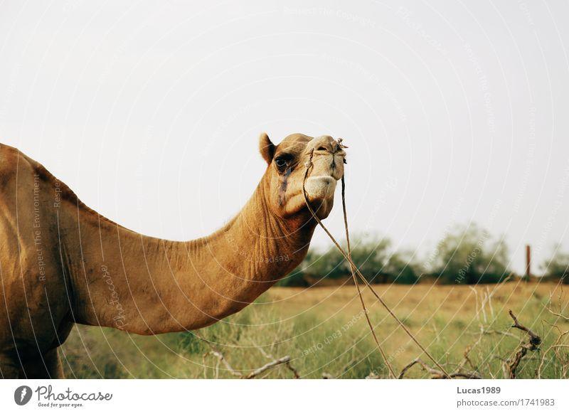 Kamelblick Ferien & Urlaub & Reisen Tourismus Ausflug Abenteuer Ferne Safari Expedition Sommer Sommerurlaub Sonne Umwelt Natur Sand Gras Sträucher Wellen Indien