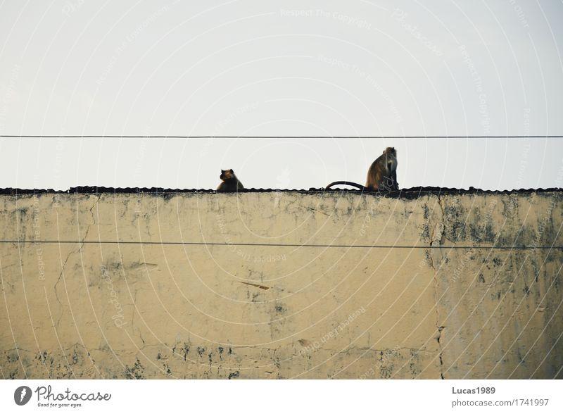Affen auf der Mauer Ferien & Urlaub & Reisen Stadt Tier Haus Ferne Wand Fassade Tourismus Tierpaar Wildtier sitzen Tiergruppe Abenteuer Kabel exotisch
