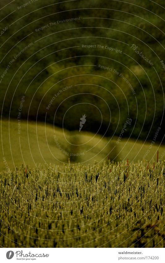 Kornfeld Farbfoto Unschärfe Getreide Nutzpflanze Feld dunkel Traktorspur geringe Schärfentiefe Spiegeltele Bokeh