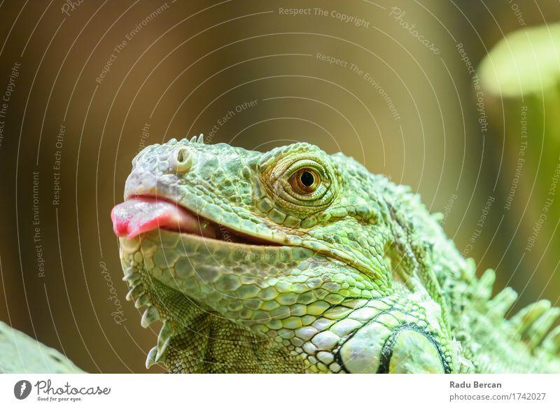 Grünes Leguan-Porträt Natur Farbe grün rot Tier Umwelt wild Wildtier Kommunizieren beobachten Jagd Tiergesicht krabbeln Zunge Reptil Leguane