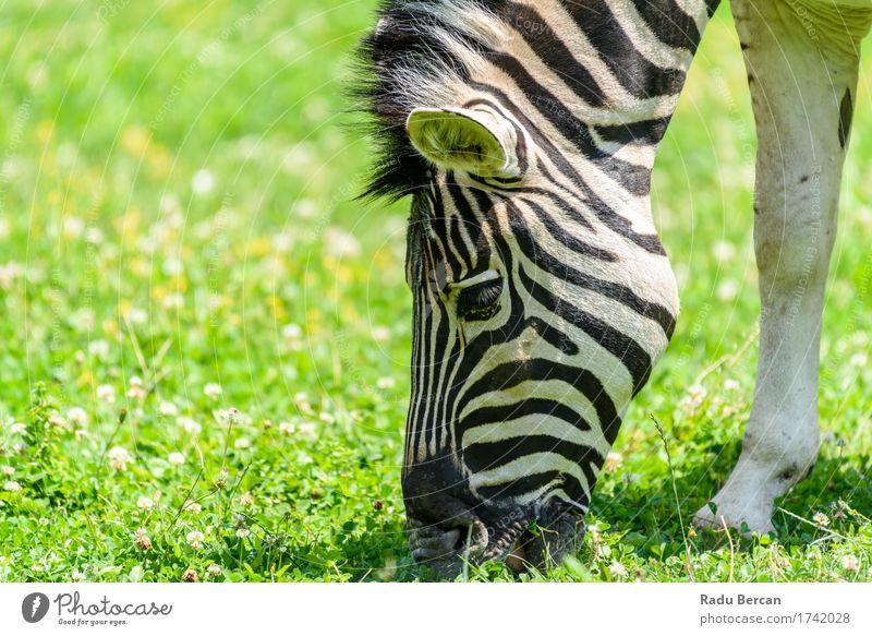 Wilder Zebra, der auf neuer grüner Rasenfläche weiden lässt Natur Farbe schön weiß Tier schwarz Umwelt Essen natürlich Gesundheit Freiheit frei frisch Wildtier