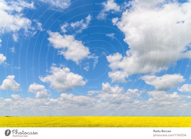 Gelbes Rapssamen-Blumen-Feld mit blauem Himmel Umwelt Natur Landschaft Pflanze Erde Luft Wolken Horizont Frühling Wetter Schönes Wetter Blüte Nutzpflanze Wiese