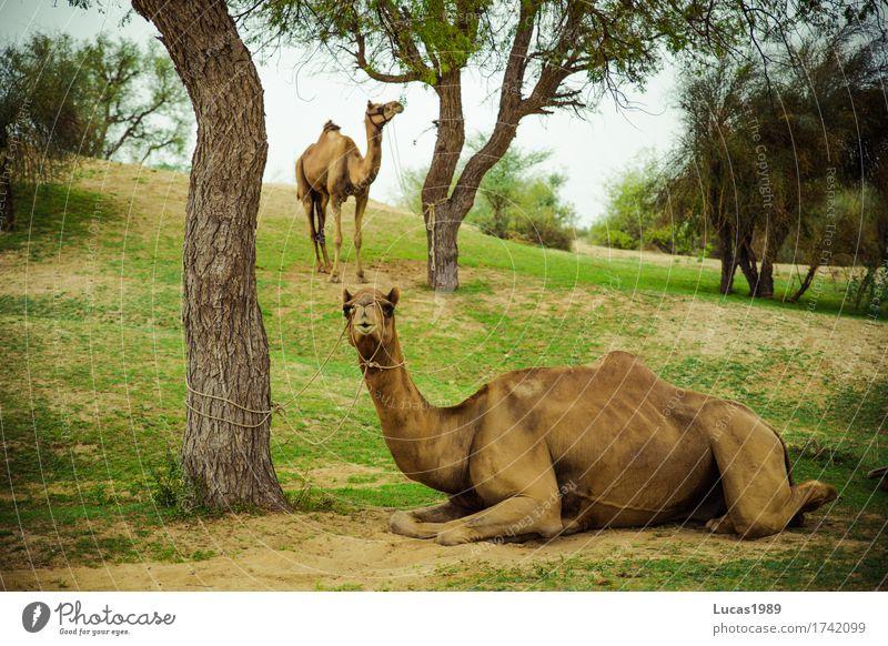 Kamele Natur Ferien & Urlaub & Reisen Sommer Baum Landschaft Erholung Tier Ferne Umwelt Gras Sand Tourismus Wildtier Ausflug Sträucher Tiergruppe