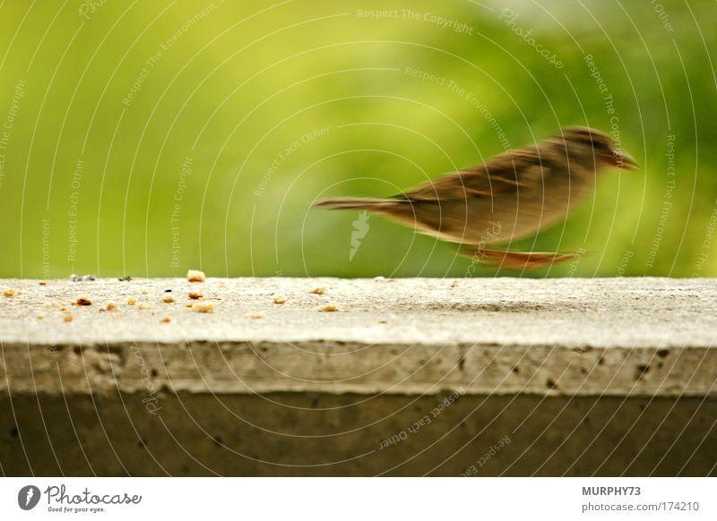 Flucht aus dem Bild oder er lebt doch... Natur grün Tier Umwelt Bewegung grau springen Vogel braun füttern hüpfen Spatz Krümel Lebensmittel Betonmauer