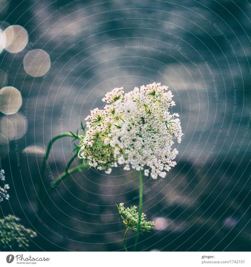 Here I am Sommer Pflanze Wildpflanze blau weiß Unschärfe Schwache Tiefenschärfe Fleck Blume Doldenblüte Wasser Stengel fließen rund grau-blau Gewässer Neigung
