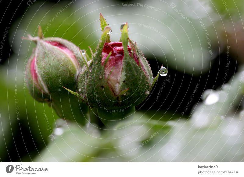 undicht Natur Wasser schön Pflanze Sommer ruhig Erholung Gefühle Frühling Park Stimmung Umwelt Wassertropfen Rose Idylle Blume