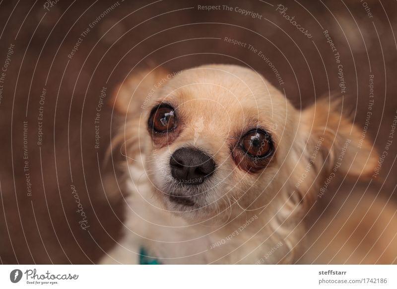 Tan cremefarbener Chihuahuawelpe Hund Einsamkeit Tier braun Angst Haustier Tiergesicht Geborgenheit