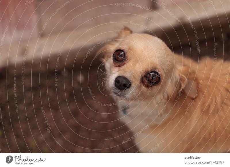 Tan cremefarbener Chihuahuawelpe Hund Tier Gefühle braun Angst gold blond Haustier Tiergesicht Geborgenheit