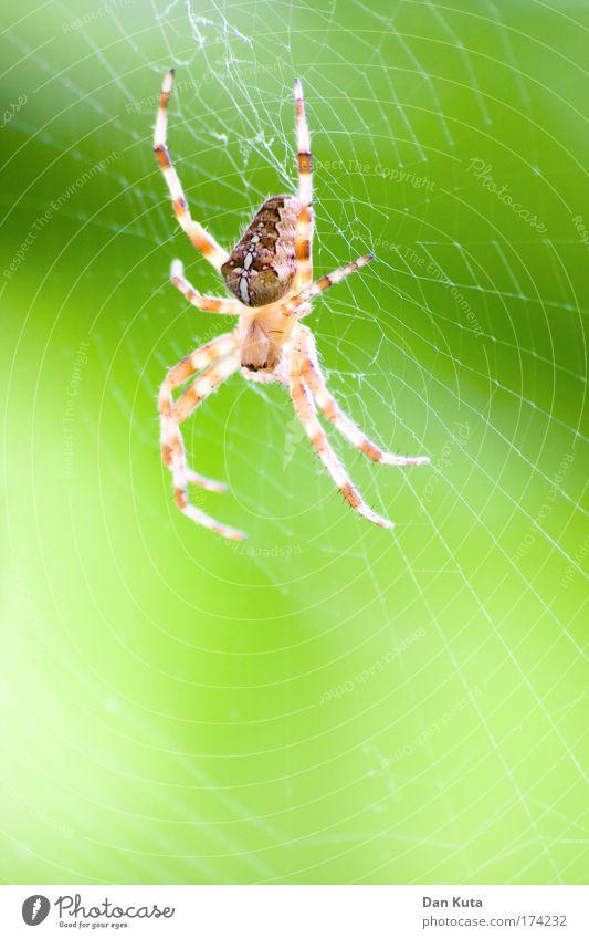 Mitgehangen, mitgefangen! Umwelt Natur Tier Spinne 1 Fressen füttern Jagd schlafen warten Aggression ästhetisch bedrohlich dünn gruselig gelb grün Schwäche