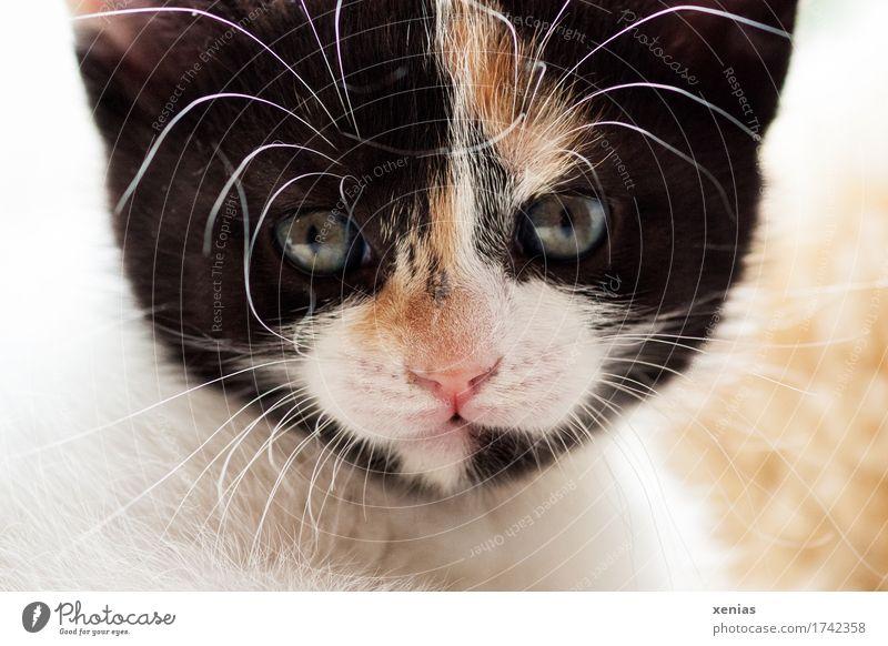 Katze blickt in Kamera Tiergesicht Fell Hauskatze 1 Tierjunges Blick Haustier braun rosa schwarz weiß Blick in die Kamera Katzenauge Tierporträt Schnurrhaar