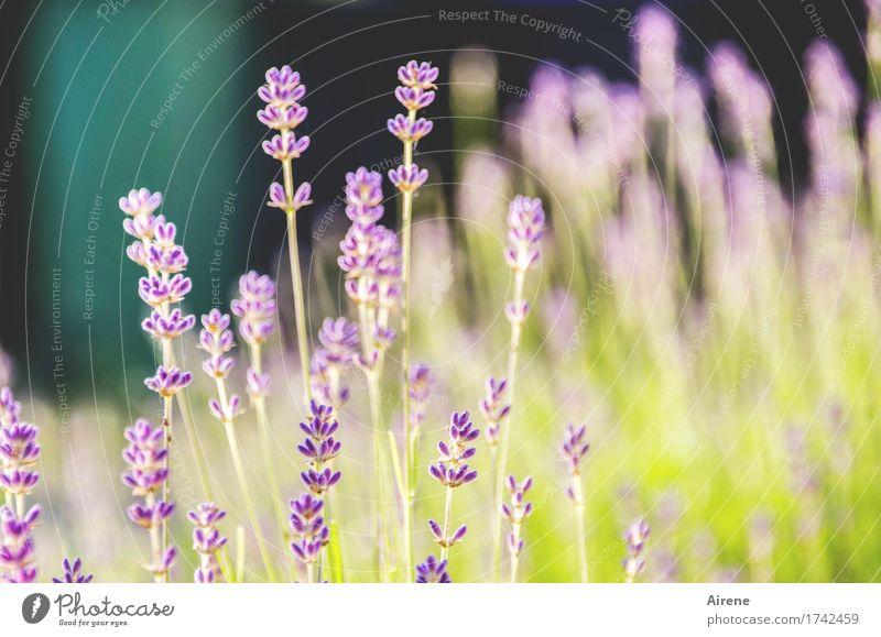 lavender's green Pflanze Sommer Schönes Wetter Blume Lavendel Blühend Duft Gesundheit gut gold violett türkis Natur Alternativmedizin Heilkraft hellgrün