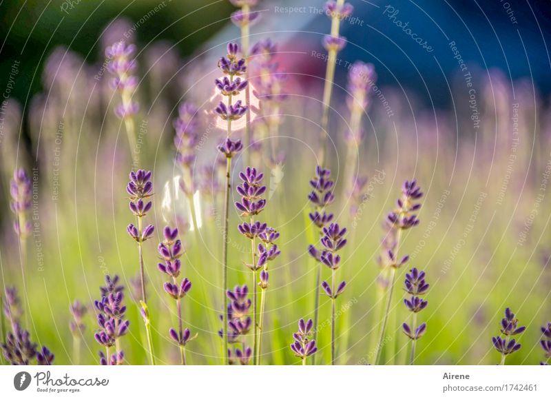 lavender's blue II Kräuter & Gewürze Pflanze Schönes Wetter Blume Lavendel Blühend Duft Gesundheit glänzend gut blau grün violett Natur Wachstum