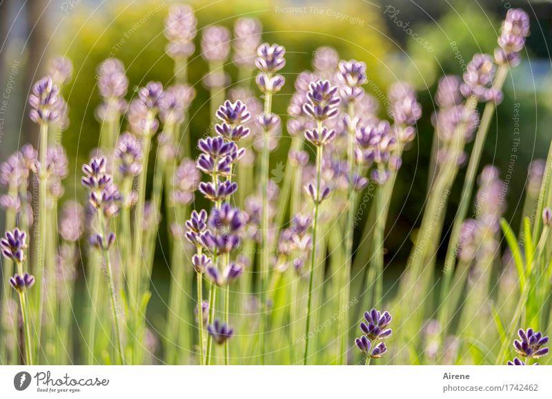 Wo sind die Tage...? Kräuter & Gewürze Pflanze Sommer Schönes Wetter Blume Lavendel Lavendelfeld Garten Wiese Blühend Duft Gesundheit natürlich trocken wild