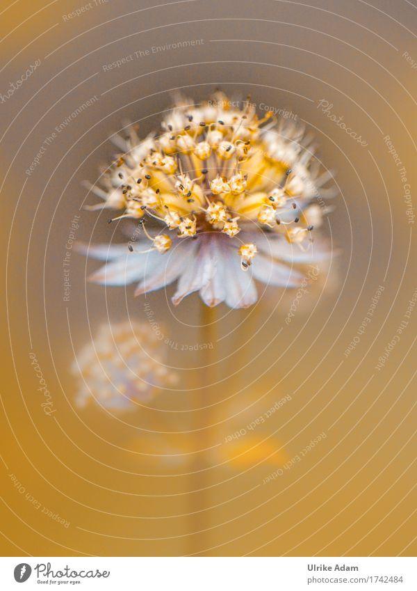 Sterndolde / Astrantia Natur Pflanze Sommer weiß Blume Wärme gelb Blüte Innenarchitektur Garten Design wild Park Häusliches Leben leuchten Dekoration & Verzierung