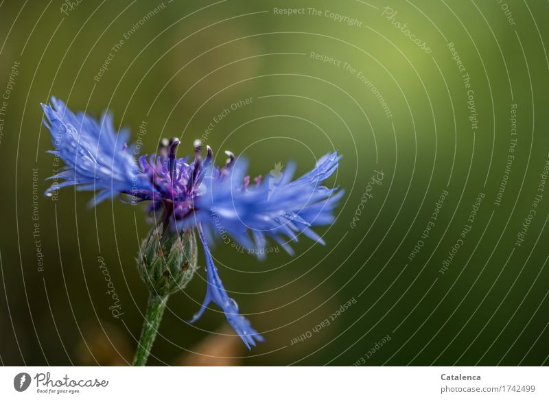 Kornblume Natur Pflanze Sonnenlicht Sommer Schönes Wetter Blume Blüte Garten Blühend blau grün violett orange Stimmung Lebensfreude Vergänglichkeit