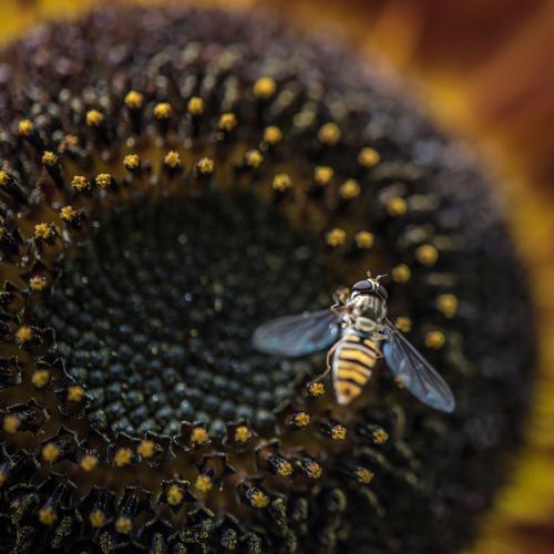 Rundum Natur Pflanze Sommer Blume Blüte Sonnenblume Garten Tier Nutztier Insekt Biene 1 Arbeit & Erwerbstätigkeit fliegen krabbeln frei braun gelb orange