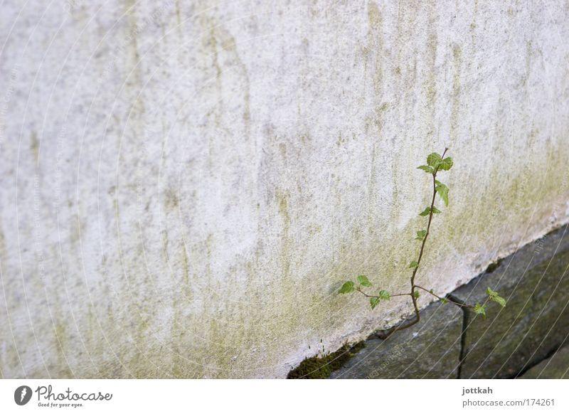 Durchsetzungsvermögen Natur grün Pflanze Umwelt Wand grau Wege & Pfade Mauer Kraft Beton Beginn Erfolg Wachstum Wandel & Veränderung anstrengen Umweltschutz