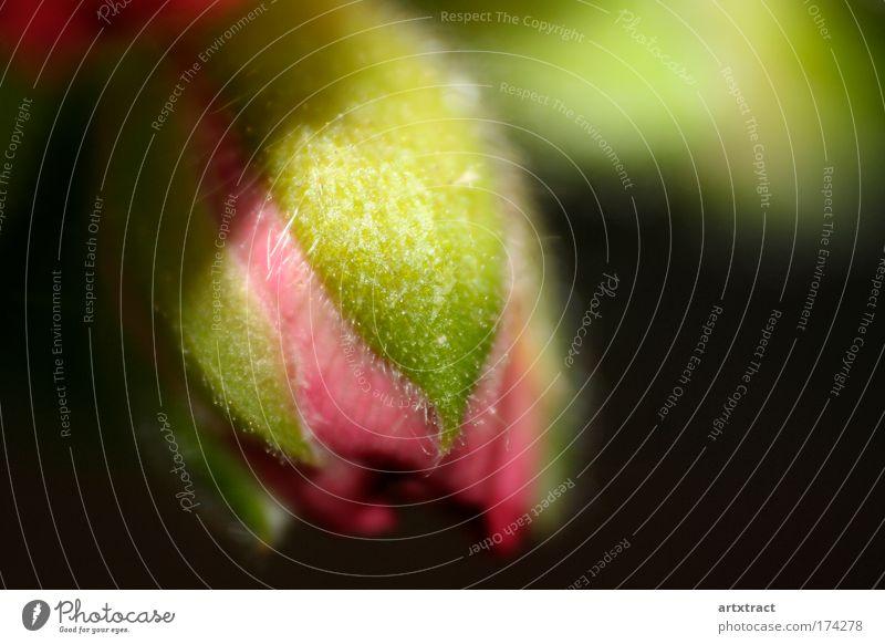 geranienknospe Farbfoto Außenaufnahme Nahaufnahme Detailaufnahme Makroaufnahme Experiment Textfreiraum rechts Tag Schatten Schwache Tiefenschärfe