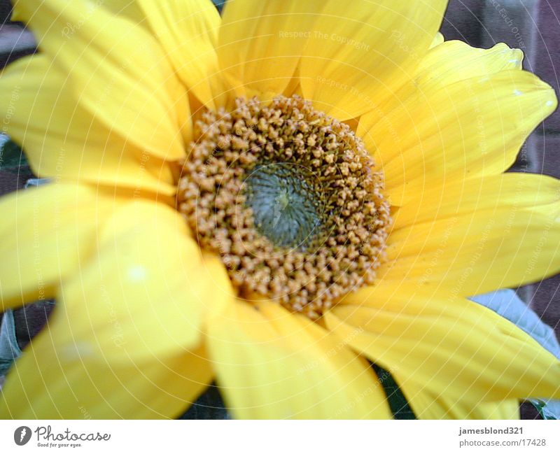 Blume, oder Blüte Sonnenblume Blütenblatt