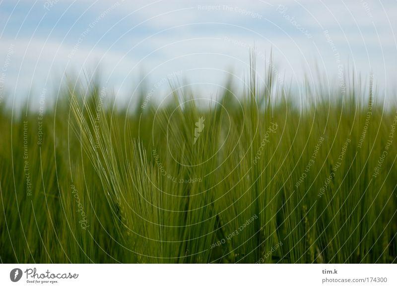 Kornfeld Natur weiß grün blau Pflanze Feld Umwelt Schönes Wetter Nutzpflanze