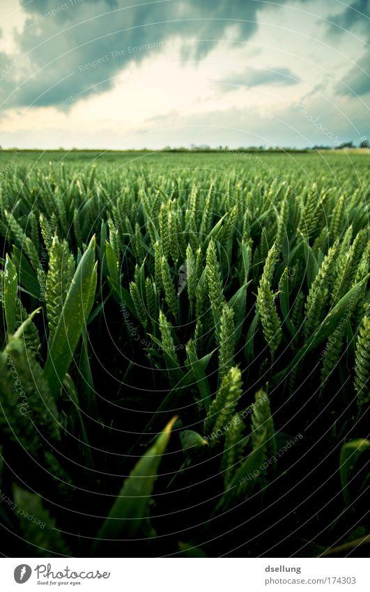 Getreidefeld im saftigen grün bei bewölktem Himmel Farbfoto Außenaufnahme Menschenleer Textfreiraum oben Abend Schatten Kontrast Starke Tiefenschärfe Weitwinkel