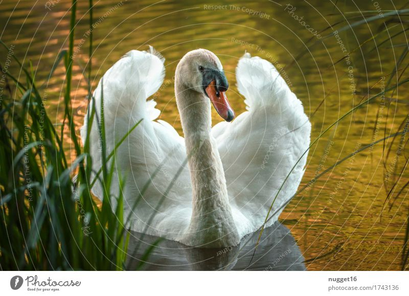morgens am Weiher Tier Wildtier Vogel Tiergesicht Flügel Schwan 1 Schwimmen & Baden ästhetisch fantastisch Neugier gelb grün orange schwarz weiß Tierliebe schön