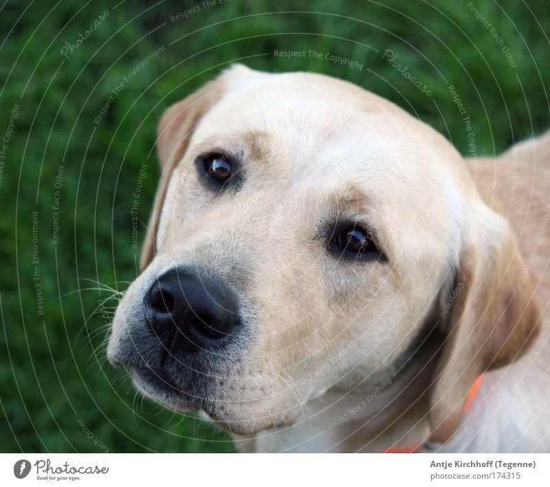 Noni schön Sommer Tier gelb Gefühle Gras Garten Glück Hund Traurigkeit Kraft Sicherheit Tiergesicht Schutz beobachten Vertrauen