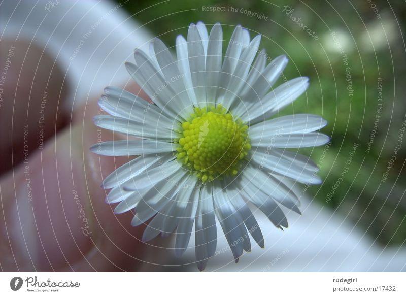 Gänseblümchen Natur Blume Schönes Wetter